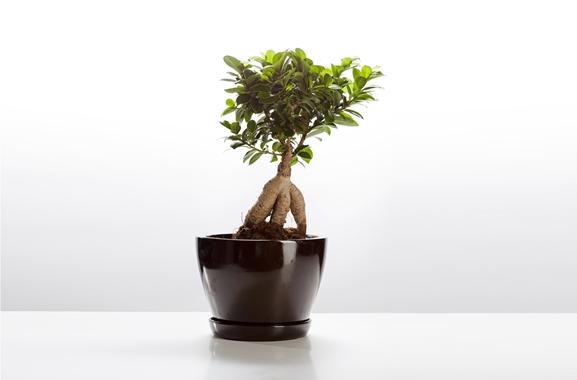 Besondere Geschenkideen aus Geesthacht: Bonsai