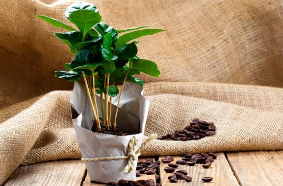 Besondere Geschenkideen aus Fürth: Kaffeepflanze