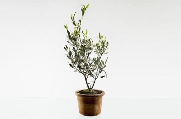 Besondere Geschenkideen aus Fürth: Olivenbäumchen