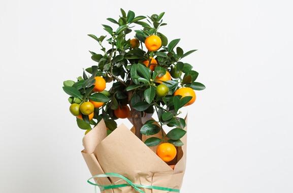 Besondere Geschenkideen aus Dortmund: Orangenbäumchen