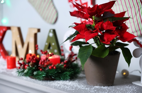 Besondere Geschenkideen aus Soltau: Weihnachtsstern