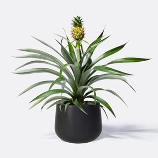 Besondere Geschenkideen aus der Region: Ananaspflanze