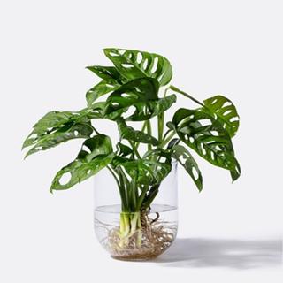 Besondere Geschenkideen aus der Region: Monstera Monkey Leaf Water Plant