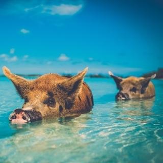 Besondere Geschenkideen aus Maintal: Bahamas-Reise zu den schwimmenden Schweinen