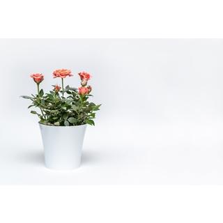 Besondere Geschenkideen aus Soltau: Rosenpflanze